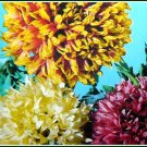 PROFUSE BLOOMING Gaillardia 'Picta Double' ANNUAL SEEDS