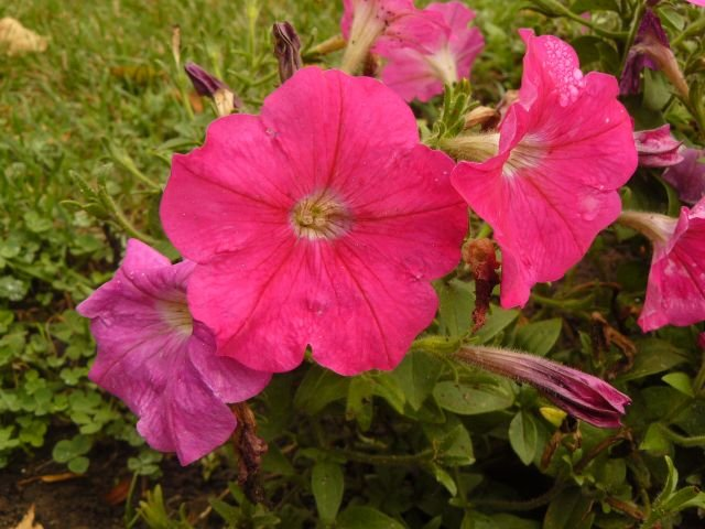 PETUNIA 'Pink Madness' ANNUAL Seeds STUNNING COLOR