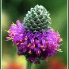DALEA PURPUREA Purple Prairie Clover PERENNIAL seeds
