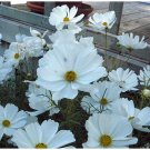 SNOW WHITE BLOOMS Cosmos Sensation 'Alba' ANNUAL seeds