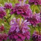 Unusually Shaped FRAGRANT 'Bergamo' Annual Monarda SEED