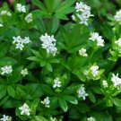 PERENNIAL Sweet Woodruff VANILLA SCENTED Herb Seeds