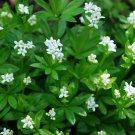 PERENNIAL Sweet Woodruff VANILLA SCENTED Herb Seeds
