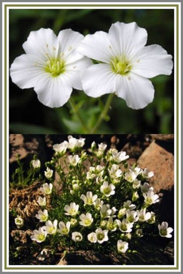 PERENNIAL Mountain Sandwort CREEPING PLANT Seeds