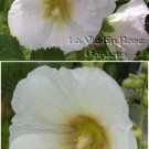 Historic HOLLYHOCK 'CAMEO' BIENNIAL Alcea Seeds