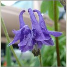 COLUMBINE Aquilegia 'Purple Self NOID' PERENNIAL Seeds