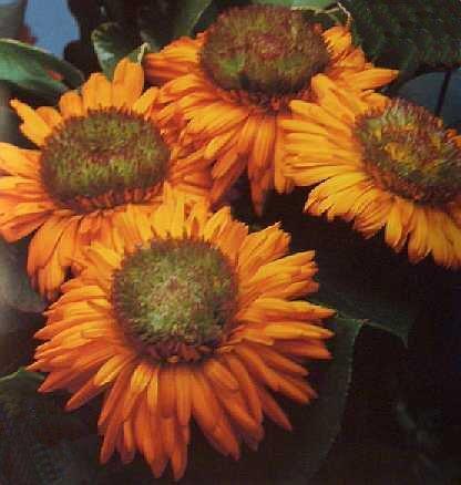 GREENHEART ORANGE Calendula ANNUAL seeds NEW