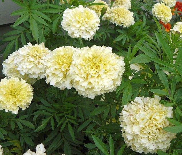 ABUNDANTLY BLOOMING Marigold 'VANILLA' Annual seeds