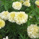 ABUNDANTLY BLOOMING Marigold 'VANILLA' Annual seeds