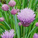 GREAT IN SALADS Chives ALLIUM Perenial SEEDS