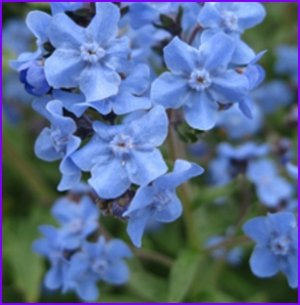 EASY & FAST GROWING Chinese Forget Me Not ANNUAL Seed