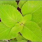 HUGE Coleus 'Giant Exhibition Limelight' ANNUAL Seeds