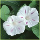 Gorgeous on Trellis MORNING GLORY Milky Way VINE Seeds