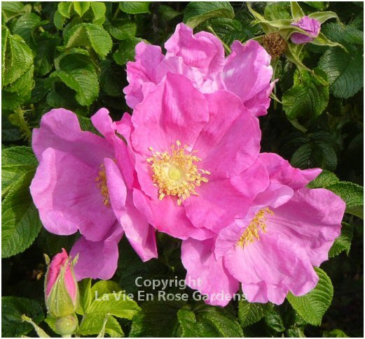BREATHTAKING AROMA Carling Rose Rosa rugosa Shrub Seeds