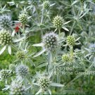 AWE-INSPIRING Sea Holly ERYNGIUM Perennial Seeds