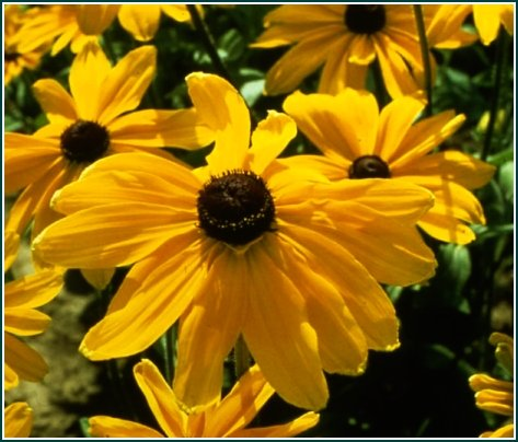 LARGE 4in Blooms INDIAN SUMMER Rudbeckia ANNUAL Seeds