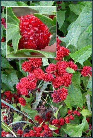 UNUSUAL Strawberry Sticks CHENOPODIUM ANNUAL Seeds