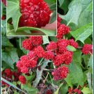 UNUSUAL Strawberry Sticks CHENOPODIUM ANNUAL Seeds