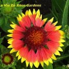 Long-Blooming GAILLARDIA 'Goblin' PERENNIAL Seeds