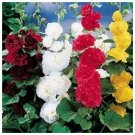 Hollyhock 'Chaters Double Mixed' (Althaea rosea) BIENNIAL
