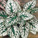 POLKA DOT PLANT 'White Splash' ANNUAL & Indoor SEEDS