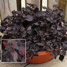 IRESINE Purple Lady ACCENT PLANT Annual SEED