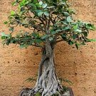 Moreton Bay Fig GREAT FOR BONSAI Tree SEEDS