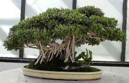 Ficus Benghalensis Indian Banyan For Bonsai Tree Seeds