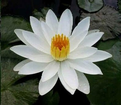 Nymphaea Juno WHITE LOTUS SEEDS - RARE!