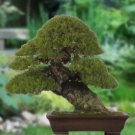Great for BONSAI Japanese Black Pine TREE seeds