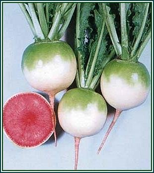 Mild WINTER RADISH with Dark Pink Flesh VEGETABLE Seed