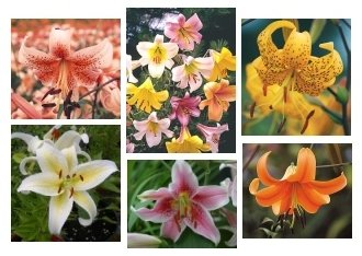 GREAT MIX of ORIENTAL and ASIATIC Lilium SEEDS Noids