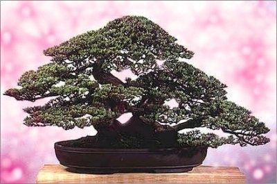 MAKES CLASSIC BONSAI Oriental Oak Tree Casuarina SEEDS