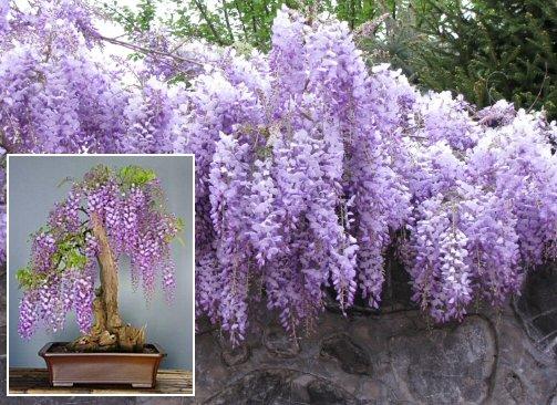 ABUNDANT FLOWERING Wisteria Sinensis Blue SEEDS Vine