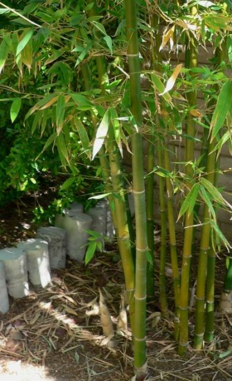 Spiny Bamboo GROW YOUR OWN Rare and Unusual SEEDS