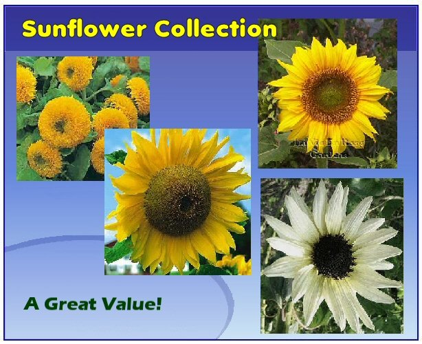SUNFLOWER Seeds collection 4 Wonderful varieties SAVE 40%