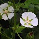 CEDAR CUP - CHALICE FLOWER Perennial Kitaibelia SEEDS