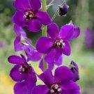 VERBASCUM - MULLEIN 'Violetta' Perennial SEEDS