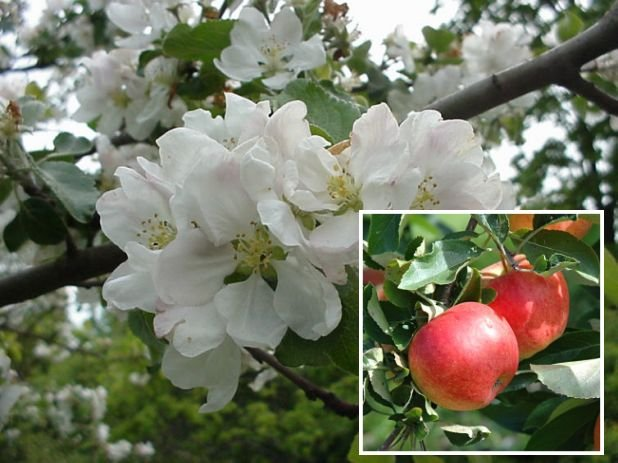 Common Apple Tree (Malus domestica) Seeds