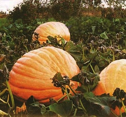 GROW THE LARGEST PUMPKIN 'Atlantic Giant' SEEDS