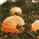 GROW THE LARGEST PUMPKIN 'Atlantic Giant' SEEDS