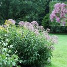 Heritage JOE PYE WEED Seeds BUTTERFLY FAVOURITE