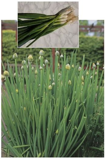 ALLIUM Welsh Onion - Delicious in Soups and Salads