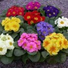 PRIMULA (Primrose) 'Orion Mix' F1 Hybrid PERENNIAL SEED
