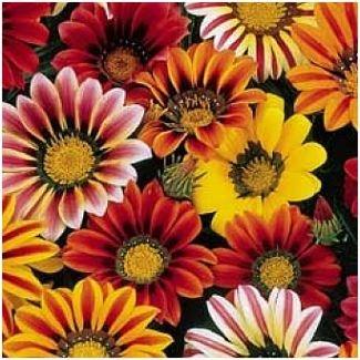 GAZANIA Sunshine Hybrids Mixed - ANNUAL Seeds