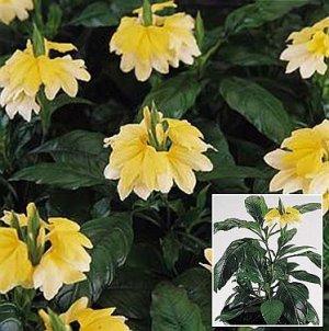 Crossandra 'Tropic Yellow Splash' ANNUAL Seeds