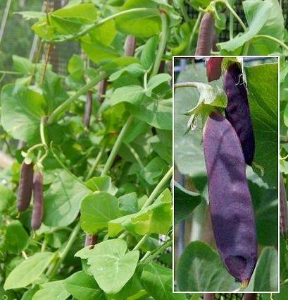 Snow Peas 'Desiree' (Pisum sativum) Seeds
