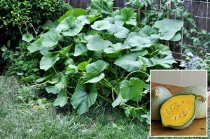 Winter Squash 'Baby Blue Hubbard' ( Seeds