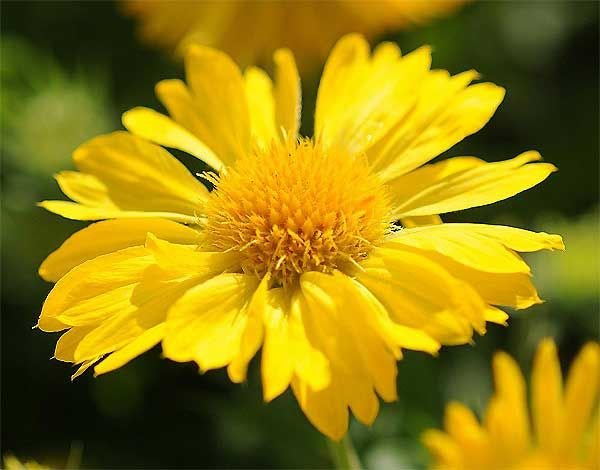 Gaillardia 'Mesa Yellow' (Gaillardia x grandiflora)Seed