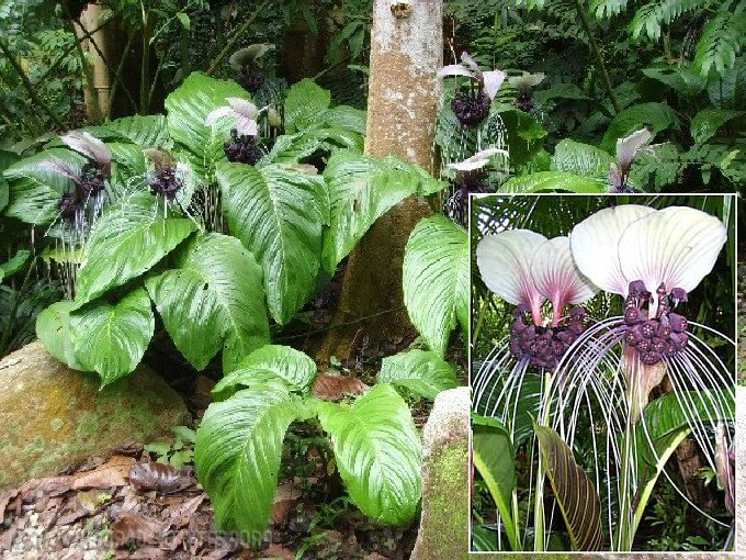 Batflower - Purple (Tacca Integrifolia) Seeds